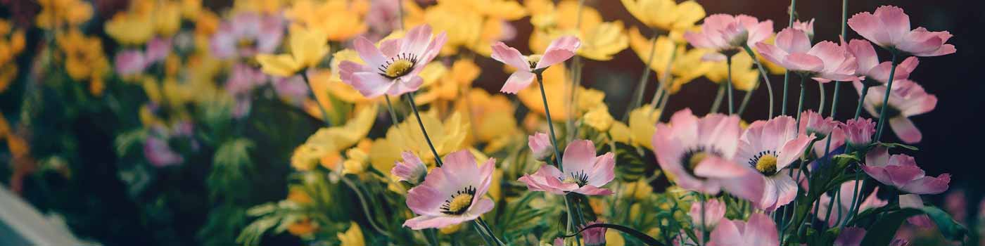 Pink and yellow spring flowers